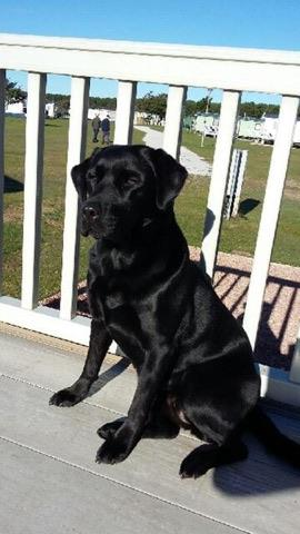 Kim, Labrador Retriever Rescue Scotland